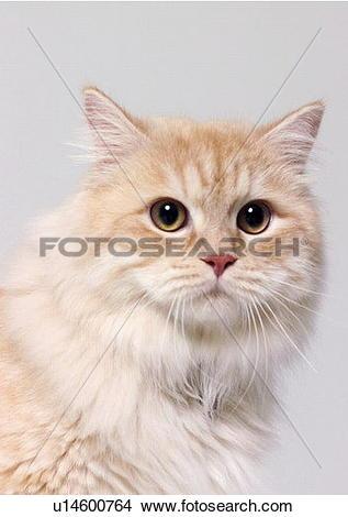 Stock Photo of carnivore, cat, chinchilla cat, close.