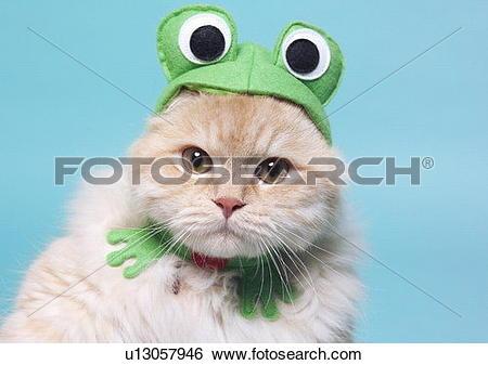 Stock Images of carnivore, cat, chinchilla cat, close.