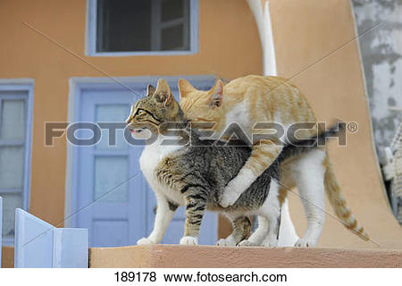 Pictures of Domestic Cat. Couple mating. Santorin, Greece 189178.