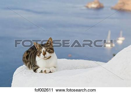 Stock Photography of Europe, Greece, Cyclades, Santorini, Cat in.