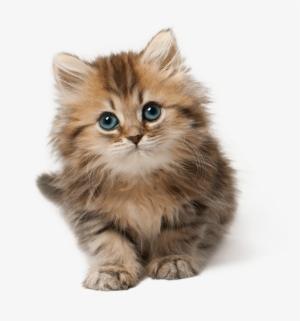 Cute Cat PNG Images.