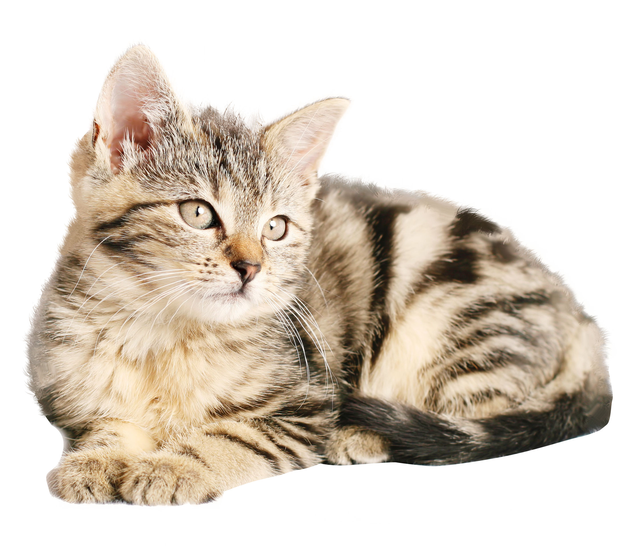 Free PNG Cat.