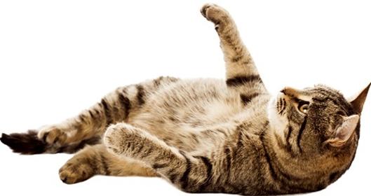 Cute Cat PNG Photo.