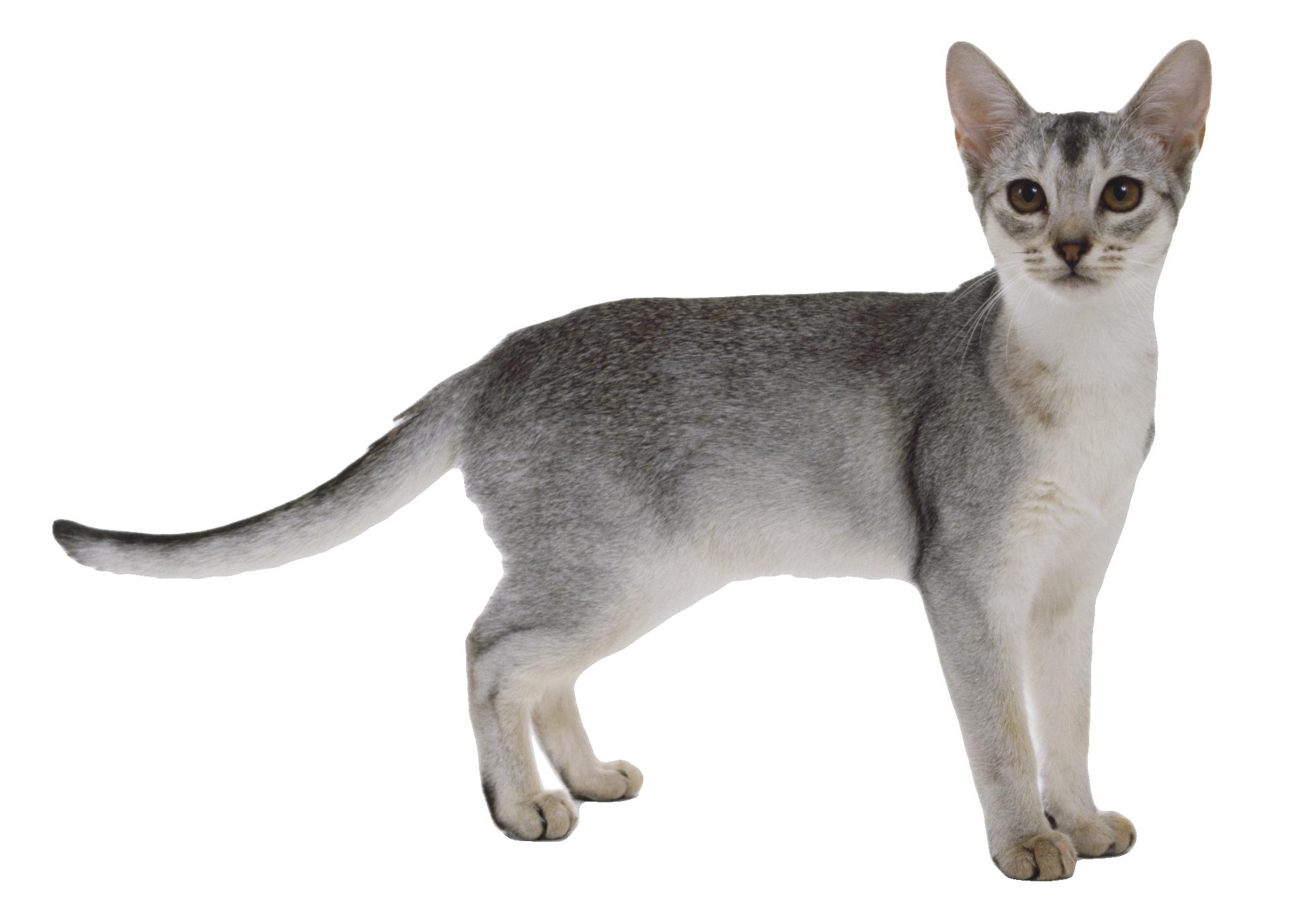 Gray Cat PNG Image.
