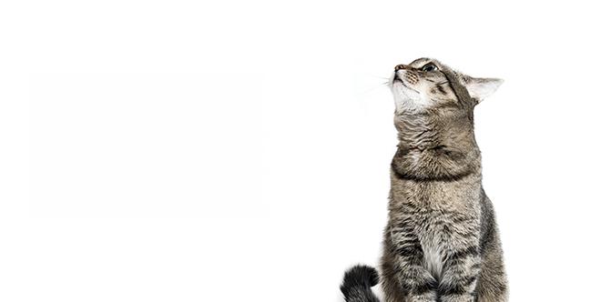 Cat Dementia: Understanding Feline Senile Dementia.