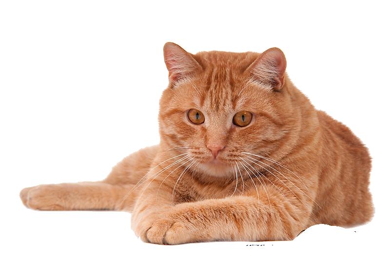 Download Cat PNG Pic 071.