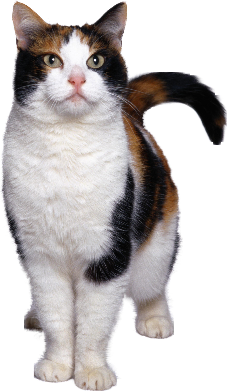 Cat PNG Image.