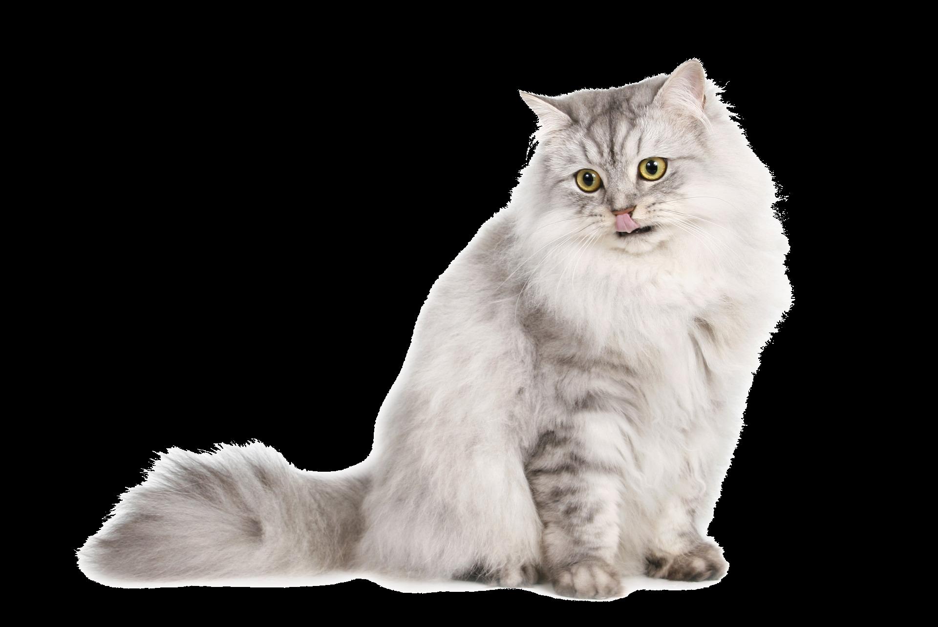 Cute Cat PNG Download Image.