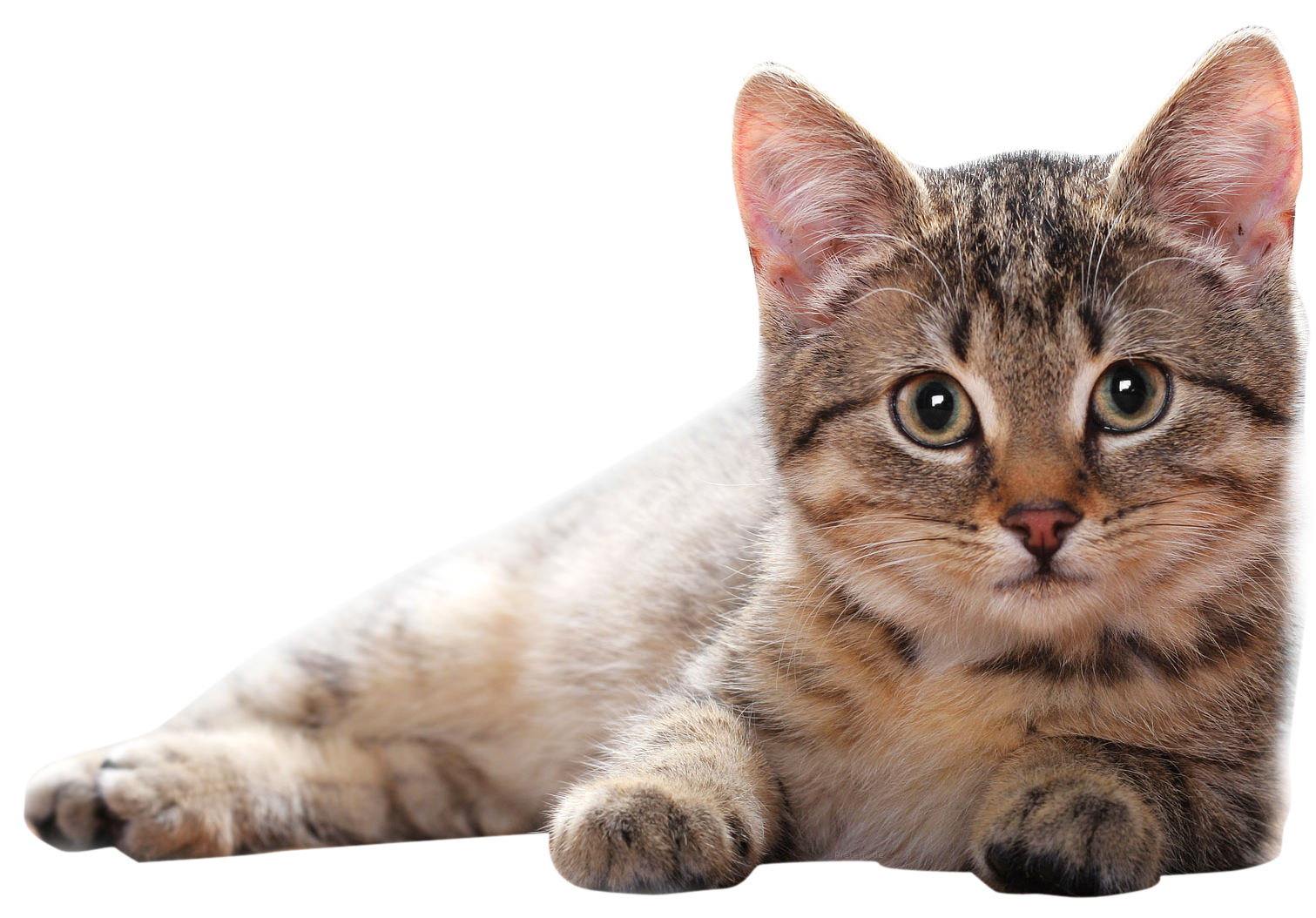 Lying Cat PNG PNG Image.