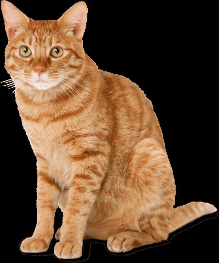 Cat Ginger transparent PNG.
