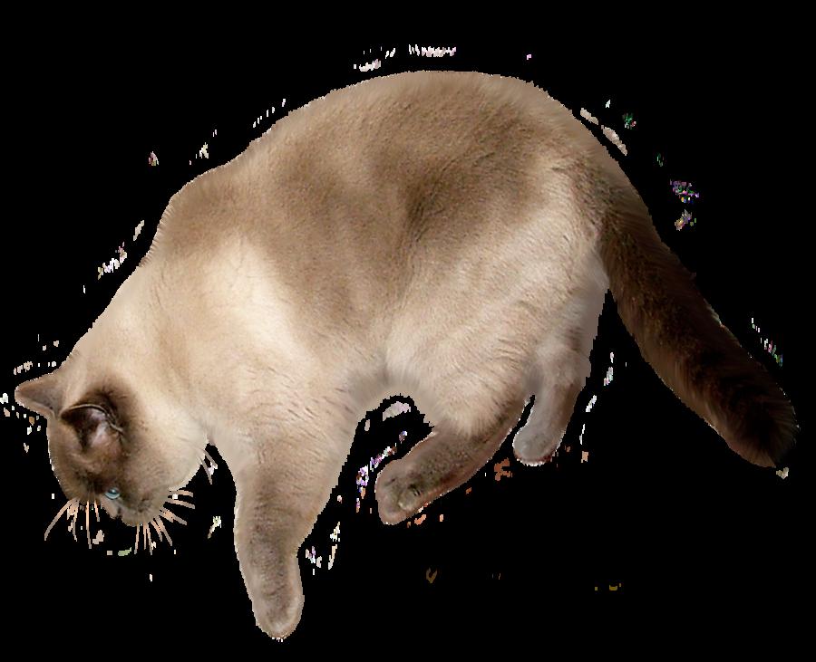 Download Cat PNG Transparent Image.