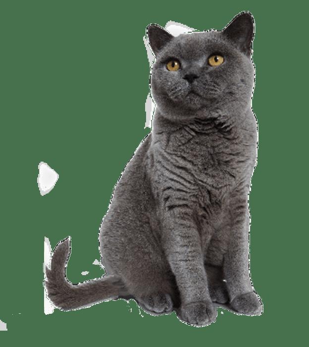 Cat PNG Transparent Background Transparent Cat Transparent.