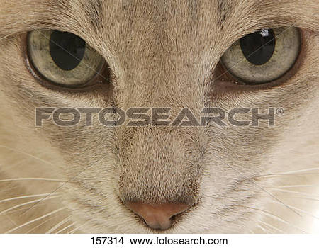Stock Photo of Tonkinese cat.