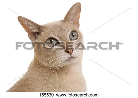 Stock Photography of Tonkinese cat.