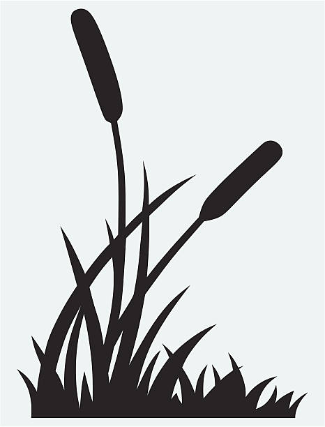 Best Cattail Illustrations, Royalty.