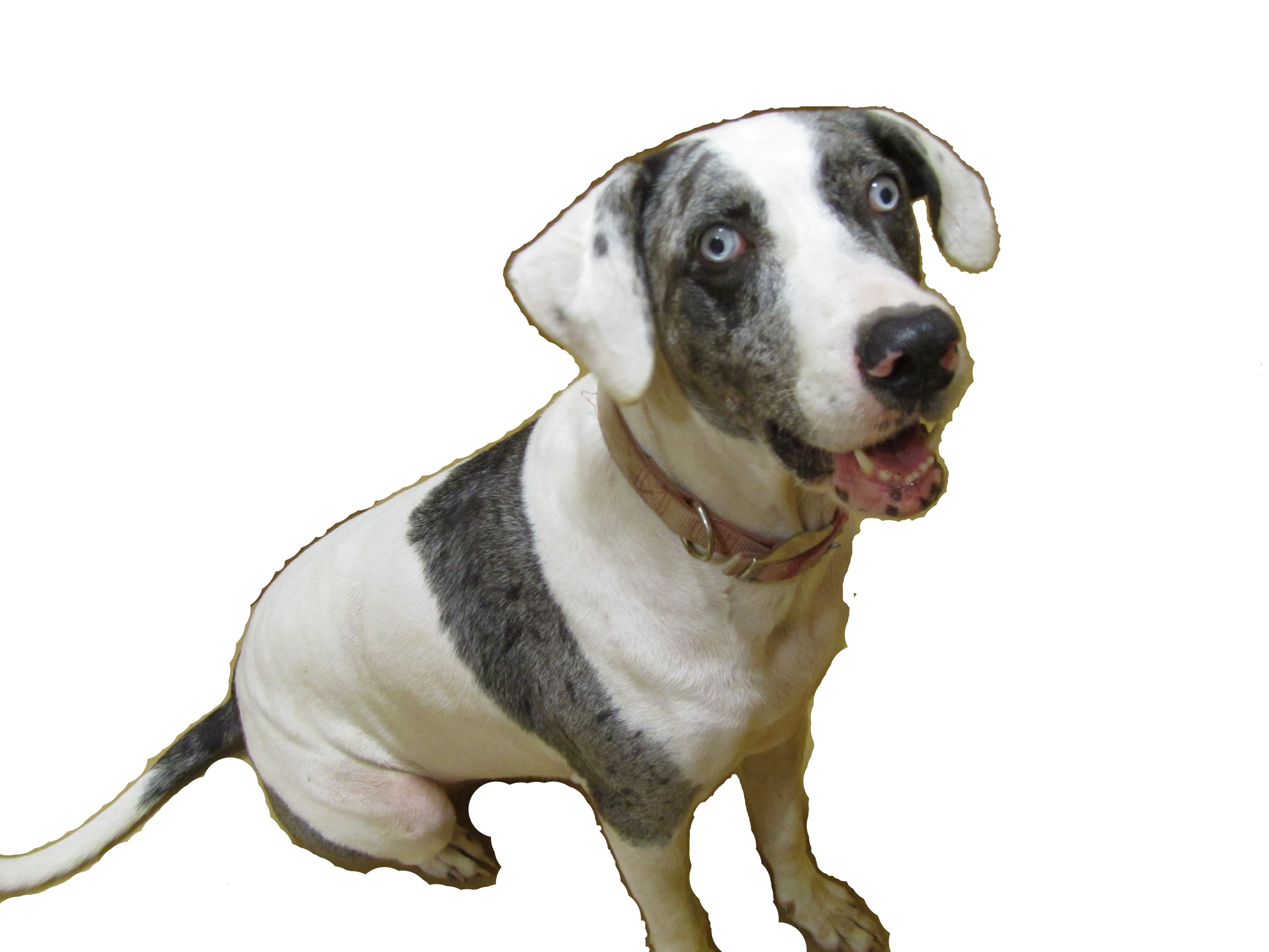 Catahoula Cur Dog Photo.
