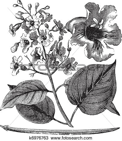 Clipart of Catalpa bignonioides or cigar tree vintage engraving.