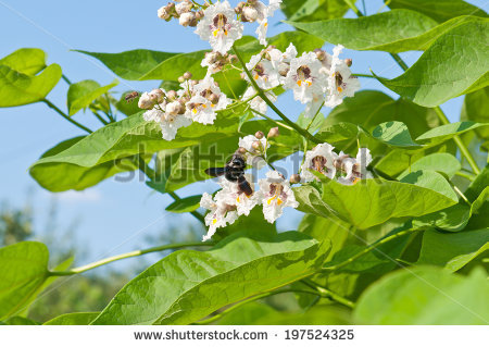 Catalpa Stock Photos, Royalty.