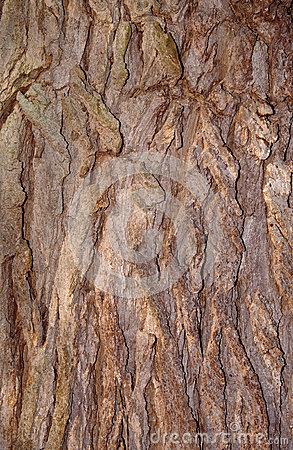Isolated Catalpa Tree Stock Image.