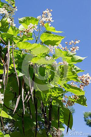 The Cigar Tree (Catalpa Bignonioides) Stock Photo.