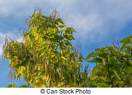Stock Image of Flowers of Indian bean tree, Catalpa bignonioides.