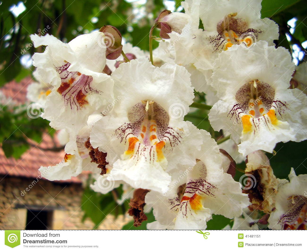 Flowers Of Catalpa Bignonioides. Common Names Include Southern.