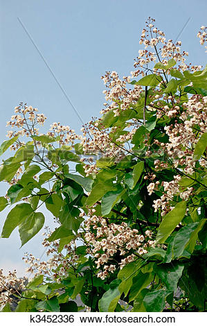 Stock Images of Flowers of Indian bean tree, Catalpa bignonioides.