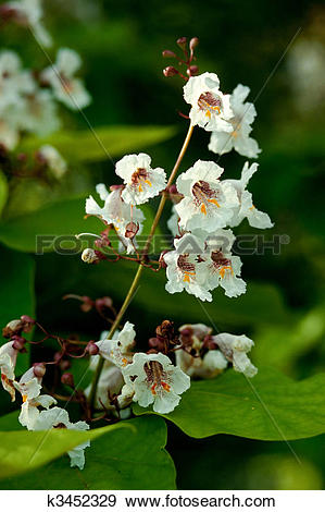 Stock Photograph of Blossoms of Indian bean tree, Catalpa.