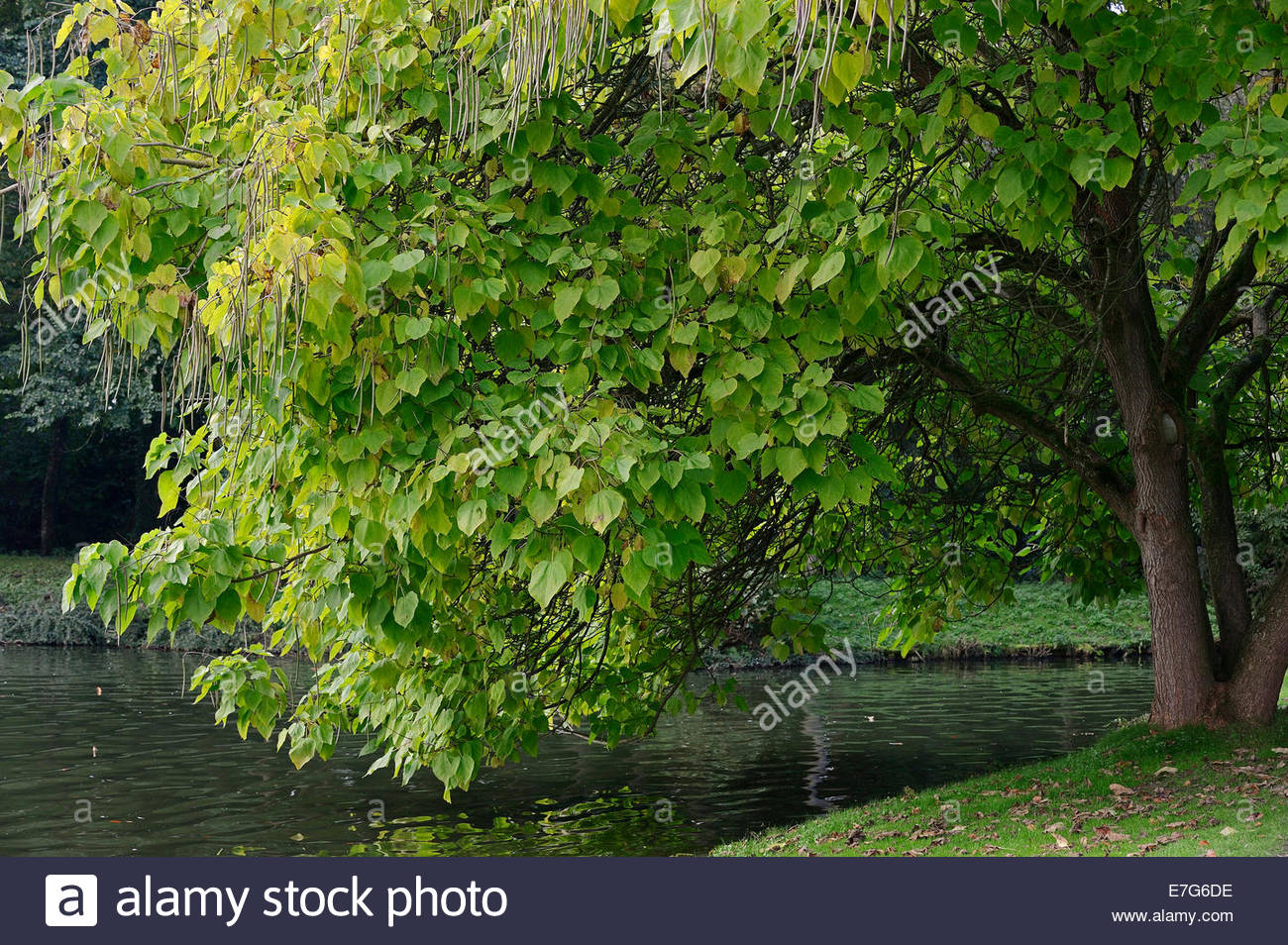 Indian Tree Leaves Stock Photos & Indian Tree Leaves Stock Images.
