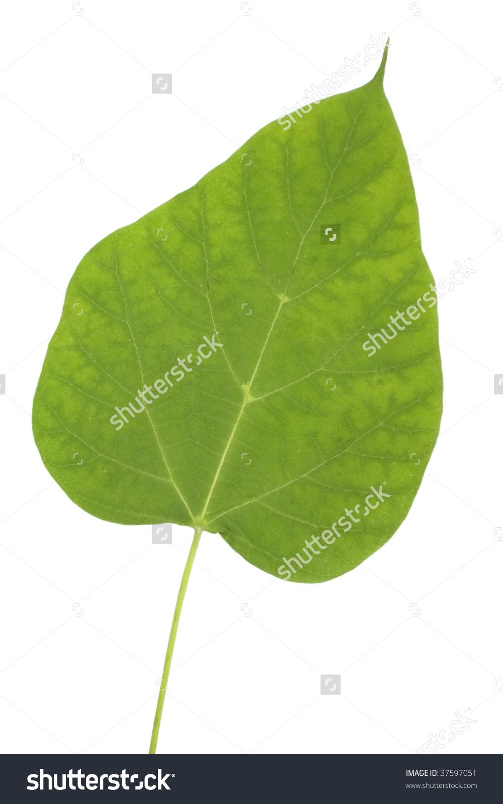 A Catalpa (Catalpa Bignonioides) Tree Leaf Stock Photo 37597051.