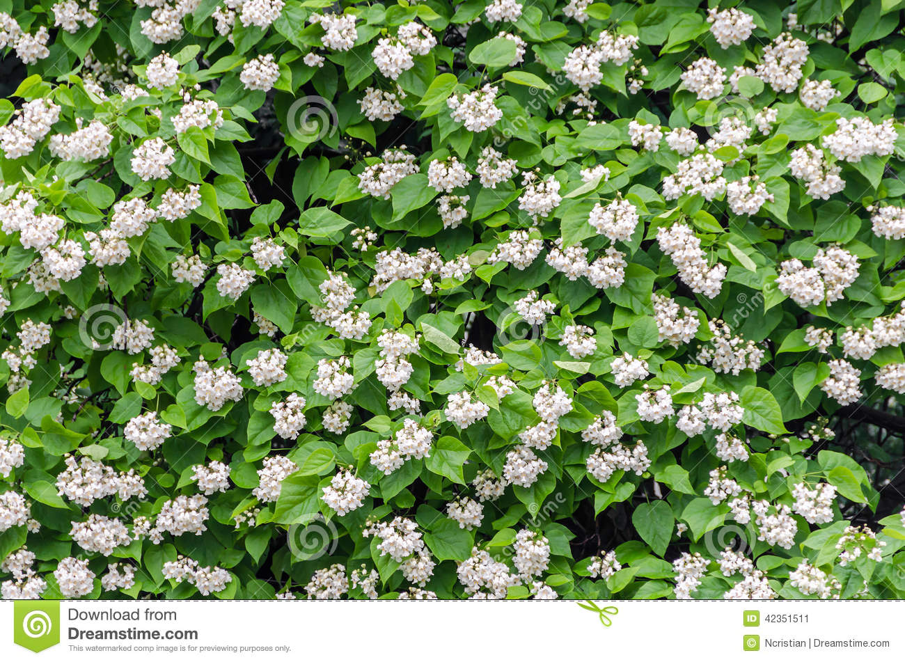 Flowers Of Catalpa Bignonioides. Common Names Include Southern.