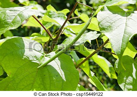 Stock Photo of green pod and big leaves of Catalpa tree.