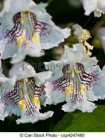 Stock Photography of Flowers of Catalpa Tree also known as Indian.