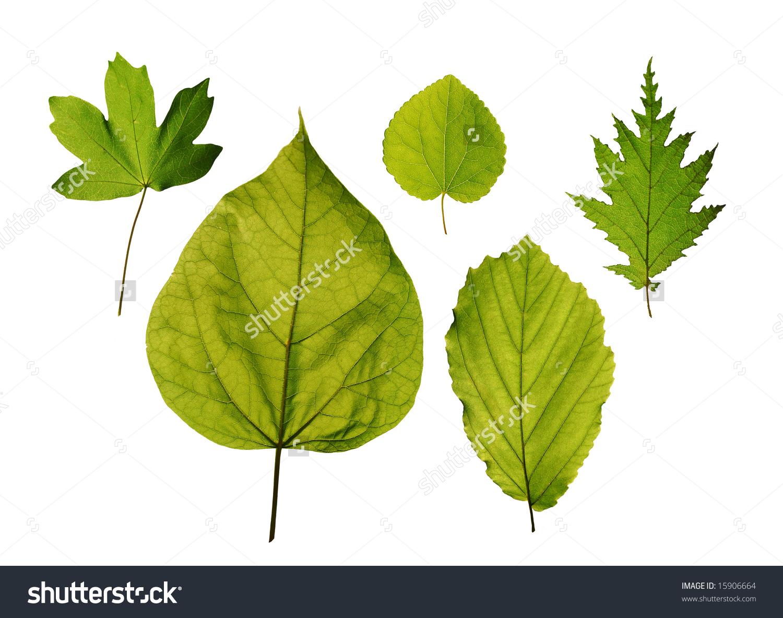 Isolated Leaves Trees Hedge Maple Katsura Stock Photo 15906664.