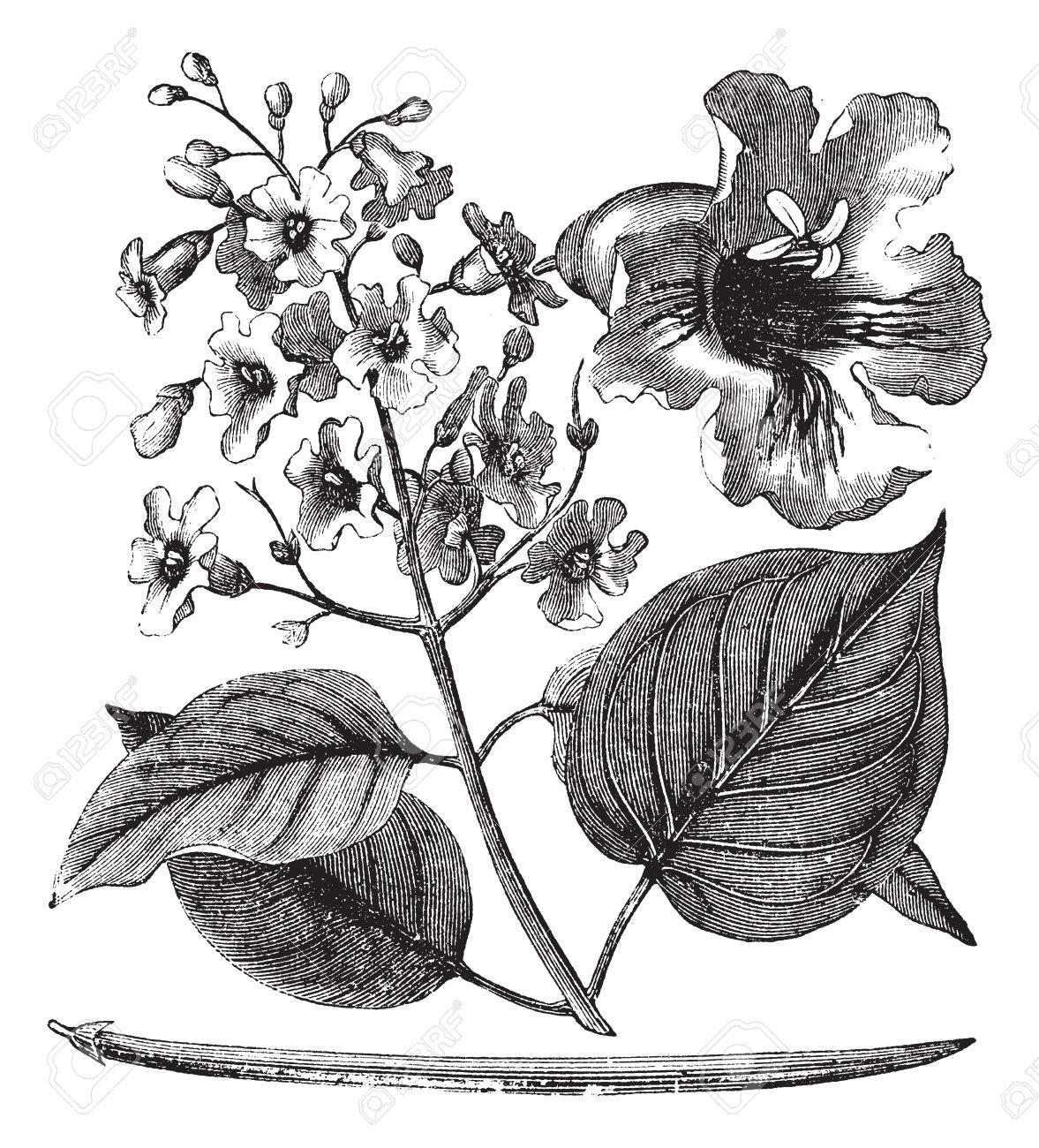 Catalpa Bignonioides Or Cigar Tree Vintage Engraving. Old Engraved.