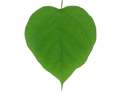 Heart leaf tree clipart.
