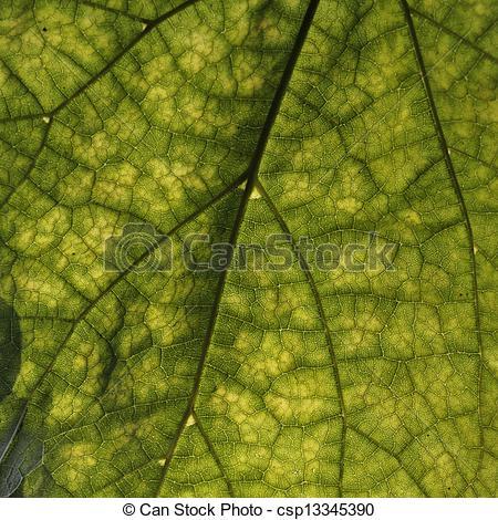 Stock Photographs of Cigar tree, Catalpa speciosa.