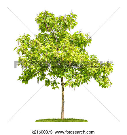 Stock Photo of isolated catalpa tree with fruits on a white.