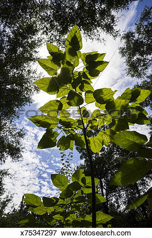 Picture of Catalpa tree leaves are beautifully backlit x75347297.