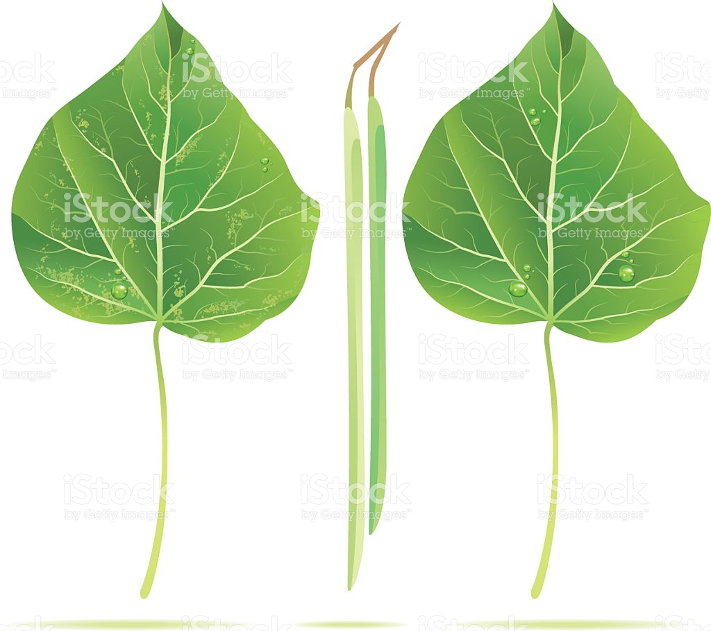Catalpa Tree Leaf stock vector art 136906123.