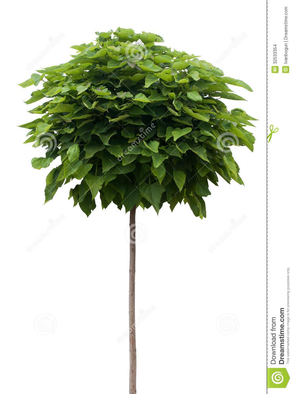 Catalpa Tree Isolated On White Stock Images.