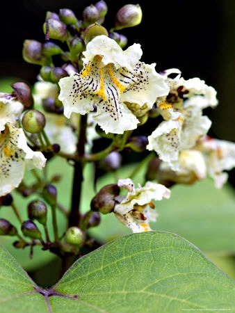 Buy Catalpa Tree s, Catalpa Speciosa, White Flowering Trees.