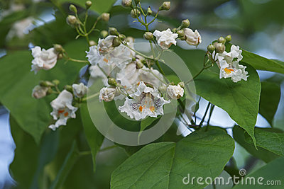 Cigar Tree With Flowers, Catalpa Speciosa Royalty Free Stock.