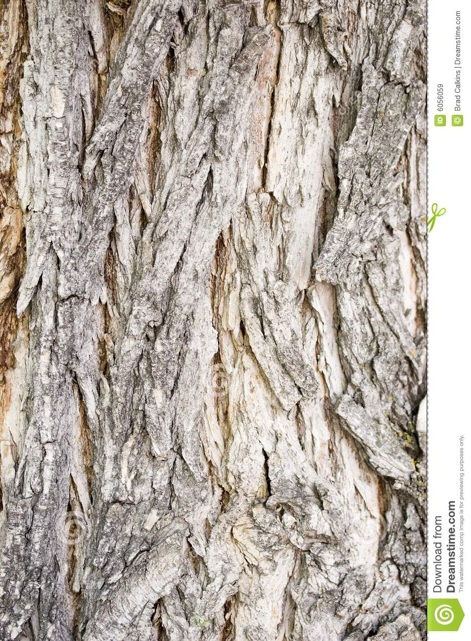 Catalpa Tree Bark Royalty Free Stock Images.
