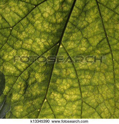 Stock Photography of Cigar tree, Catalpa speciosa k13345390.