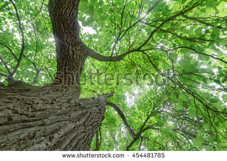 Catalpa Tree Stock Photos, Royalty.