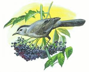 Catbird Clip Art Download.