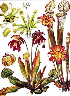carnivorous plant.