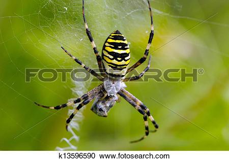 Stock Photography of wasp spider spiderweb catch prey k13596590.