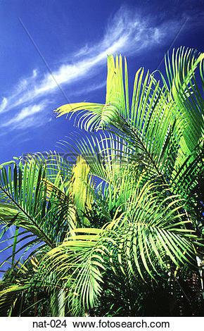 Stock Photo of Palm Tree Leaves Catching Sunlight Venezuela nat.